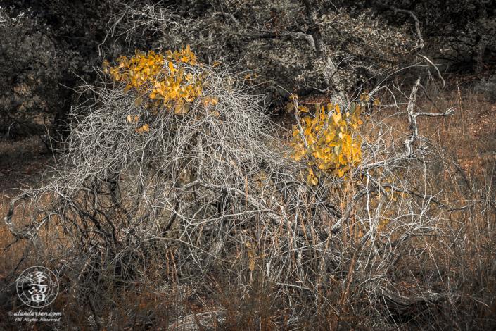 Canyon Grape (Vitis arizonica) vine.