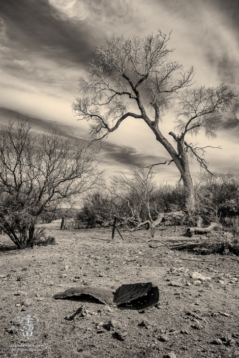 Cottonwood tree against cirrus clouds at cattle watering hole.