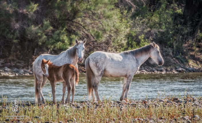Brown foal, several weeks old, standing by its mother.