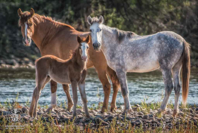 Female wild horses and young brown foal standing alertly.