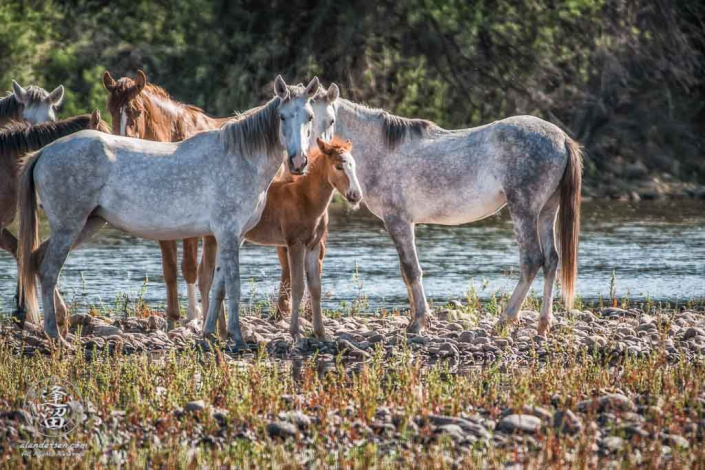 White mares from wild horse herd protectively shielding young foal.