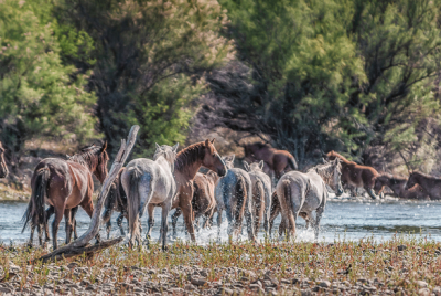 Two bands of wild horses congregating at river.