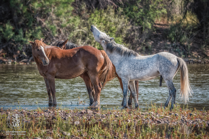 White stallion lifts his head to whinny at an unresponsive chestnut mare.