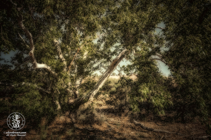 Sycamore tree by dry creek bed.