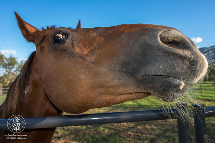 Closeup of Lori's Horse, Rudy, looking over round pen bars.