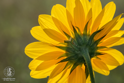 A backlit Common Sunflower (Helianthus annuus).