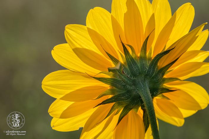 A backlit Common Sunflower (Helianthus annuus).