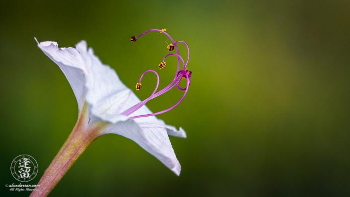 Sweet Four O'Clock (Mirabilis longiflora) flower against soft green background.