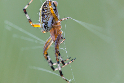 Orb weaver spider hanging upside down in her web.