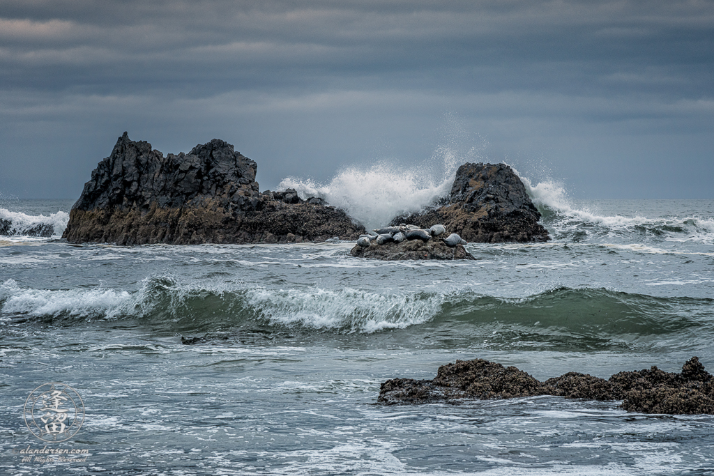 A group of Harbor Seals (Phoca vitulina) taking a nap on an overcast day at Seal Rock State Wayside on the Oregon Coast.