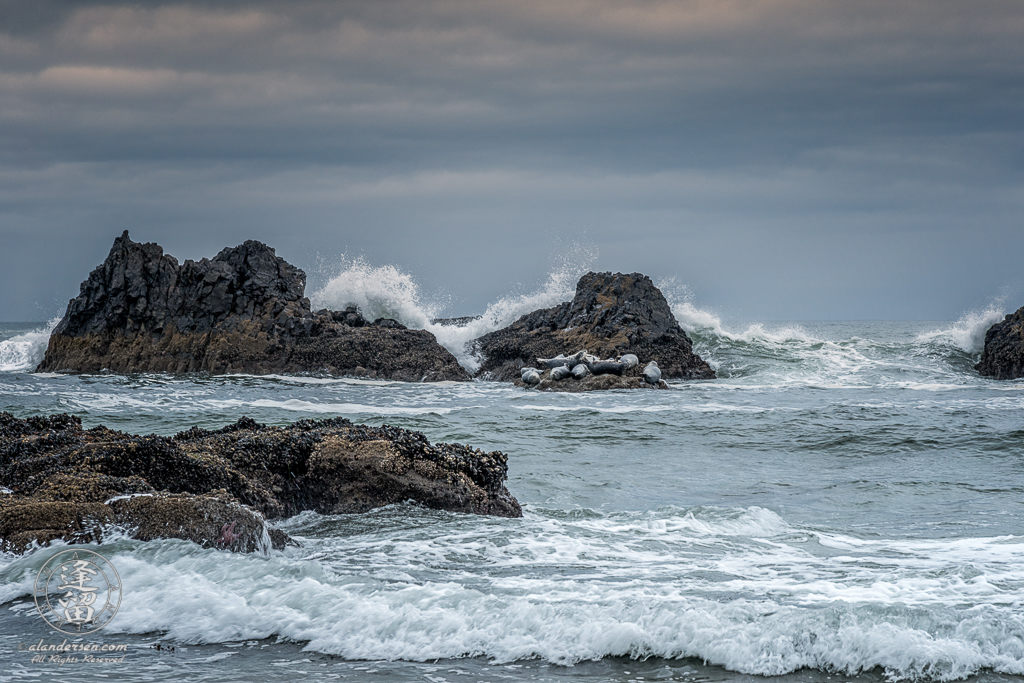 A group of Harbor Seals (Phoca vitulina) napping atop a very small rock amidst crashing waves on an overcast day at Seal Rock State Wayside on the Oregon Coast.