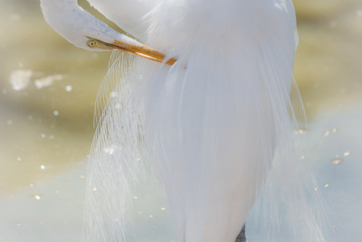 White egret (Ardea alba) standing in pond preening itself.