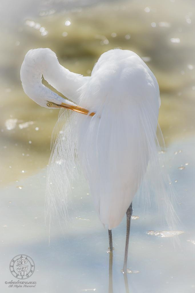 White egret (Ardea alba) standing in pond preening itself.