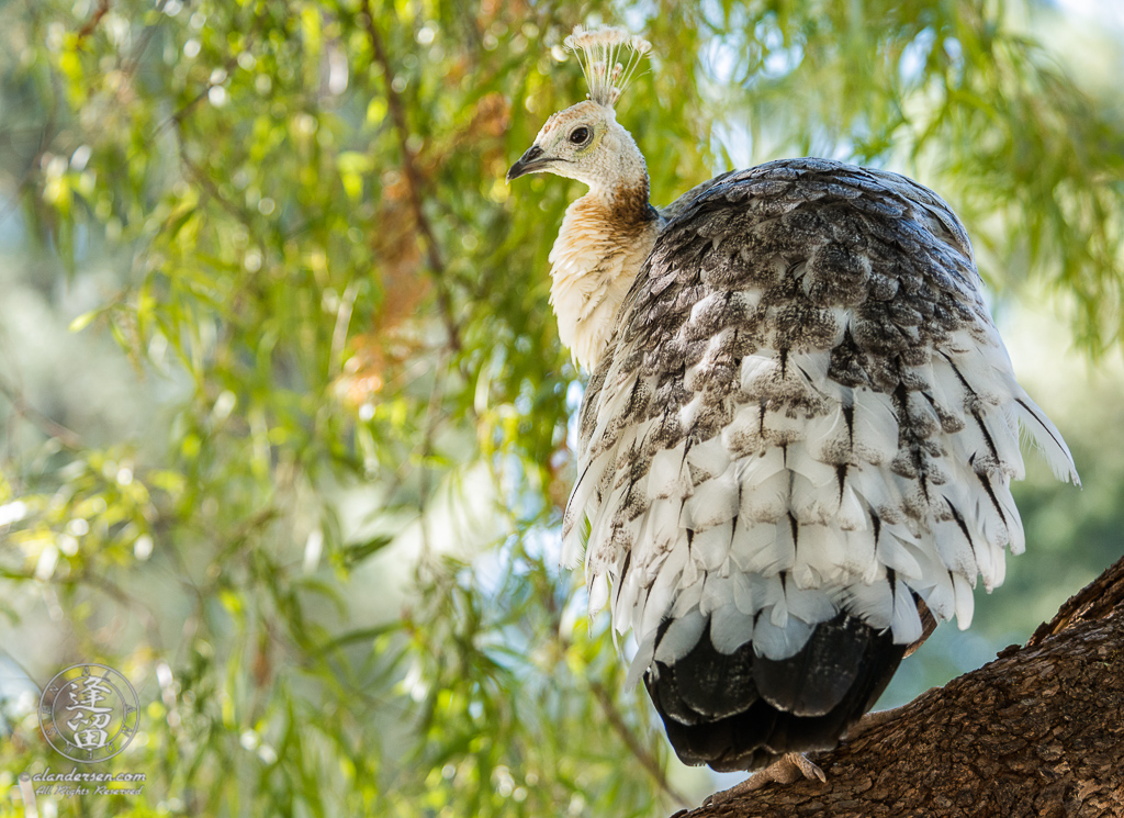 Leucistic Indian Peahen (Pavo cristatus) perched in tree at Reid Park Zoo in Tucson, Arizona.