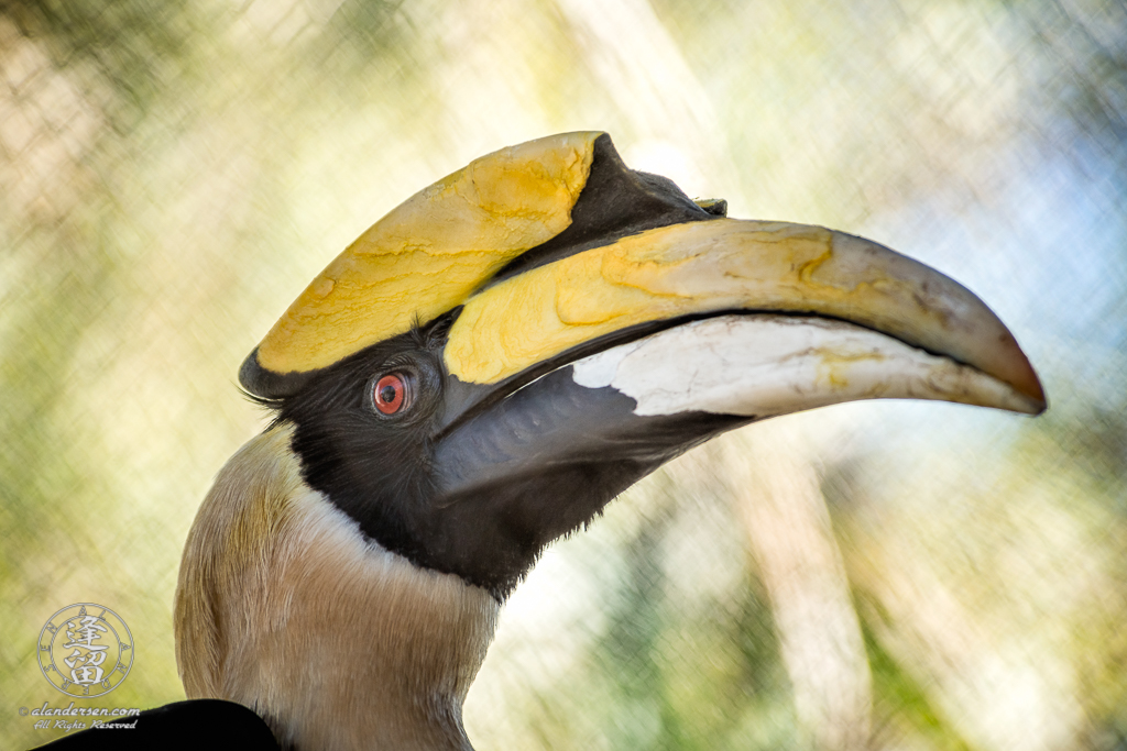 A Great Hornbill (Buceros bicornis) at the Reid Park Zoo in Tucson, Arizona.