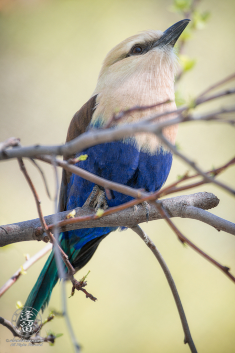 Blue-bellied Roller (Coracias cyanogaster) bird perched high in a tree.