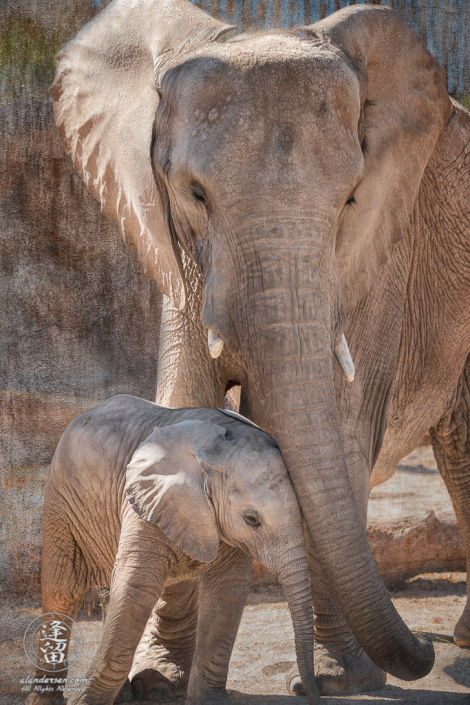 Nandi the baby African Elephant (Loxodonta africana) asks for affection from a herd adult.