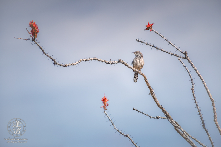 Cactus Wren (Campylorhynchus Brunneicapillus) perched on an ocotillo branch in bloom.