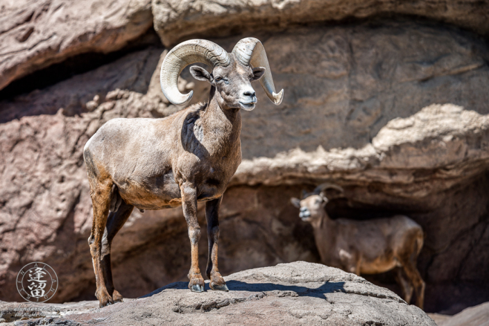 A Bighorn Sheep (Ovis canadensis) ram standing over his harem of ewes.