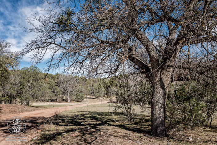 Large oak tree standing on side of dirt road near Camp Rucker in Arizona.