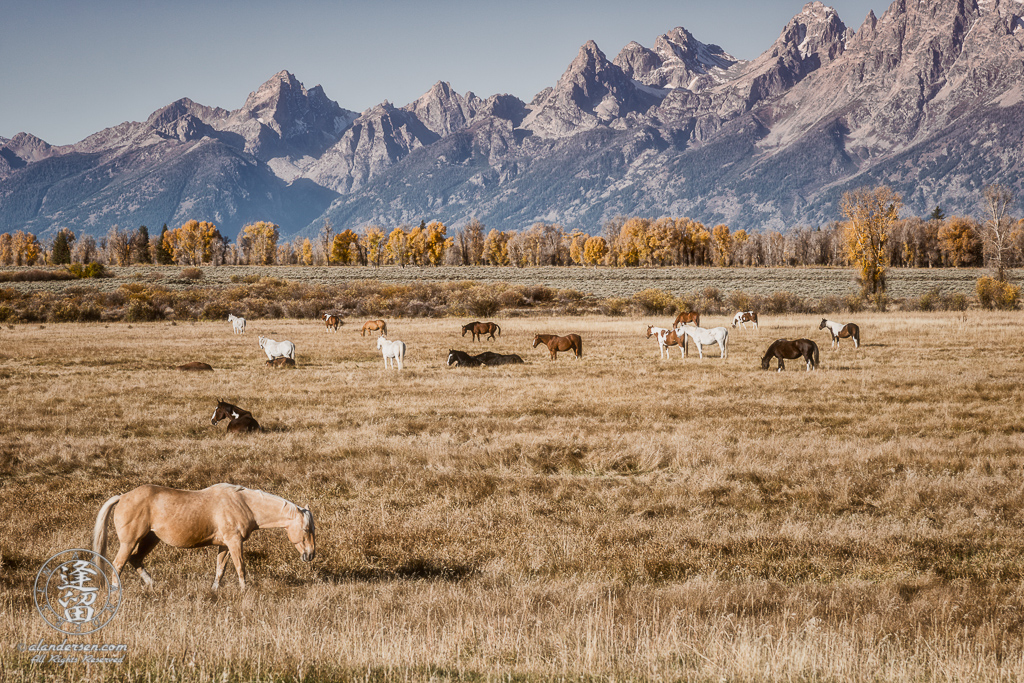 Sleepy horses starting to wake up in their pasture before the Grand Teton mountains in Wyoming.