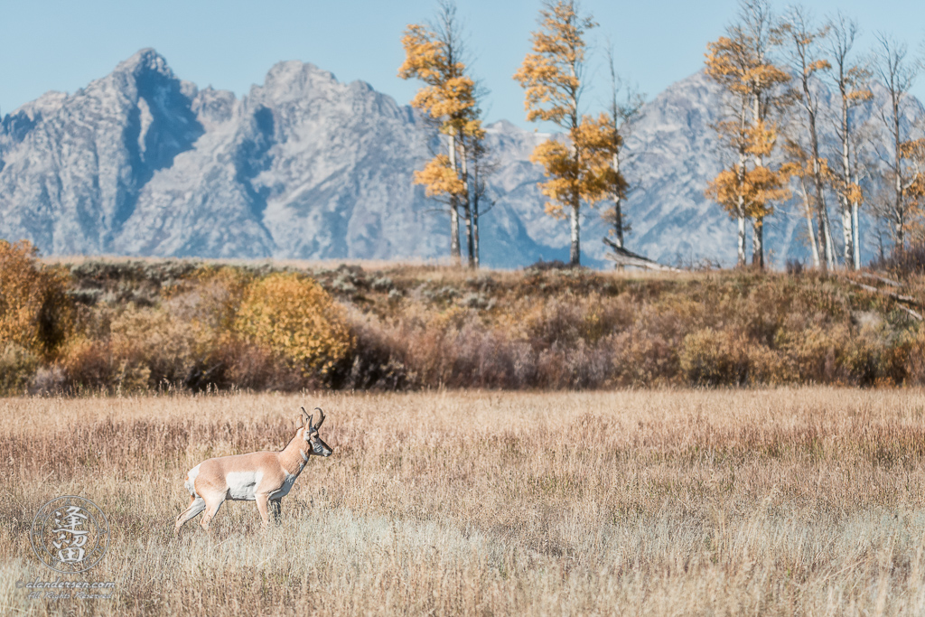 North American Pronghorn (Antilocapra americana) walking cautiously through Autumn meadow in Grand Teton National Park.