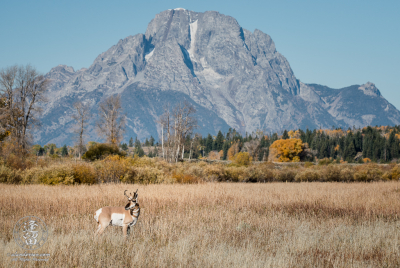 Adult North American Pronghorn (Antilocapra americana) male standing in Autumn meadow before Mount Moran in Grand Teton National Park.