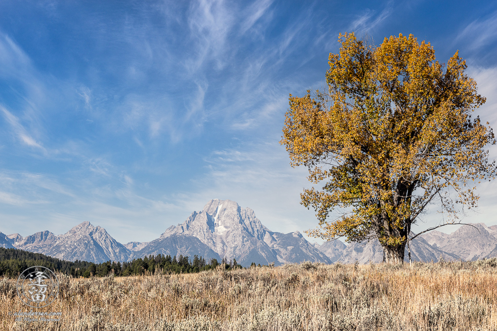 Tall tree, covered with Autumnal gold leaves, in field before Mount Moran in Wyoming's Grand Teton National Park.