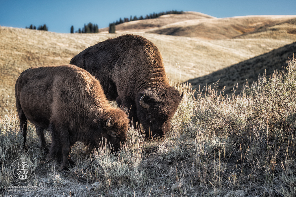 Two bison grazing on hillside at Lamar Valley in Wyoming's Yellowstone National Park.