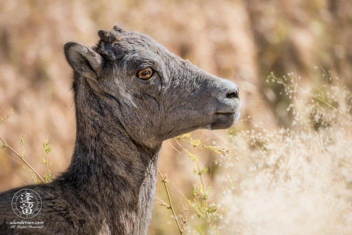Close-up of a young Bighorn Sheep (Ovis canadensis) standing in Yellowstone meadow.