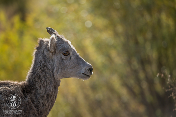 Portrait of young Bighorn Sheep (Ovis canadensis) in Yellowstone National Park, Wyoming.