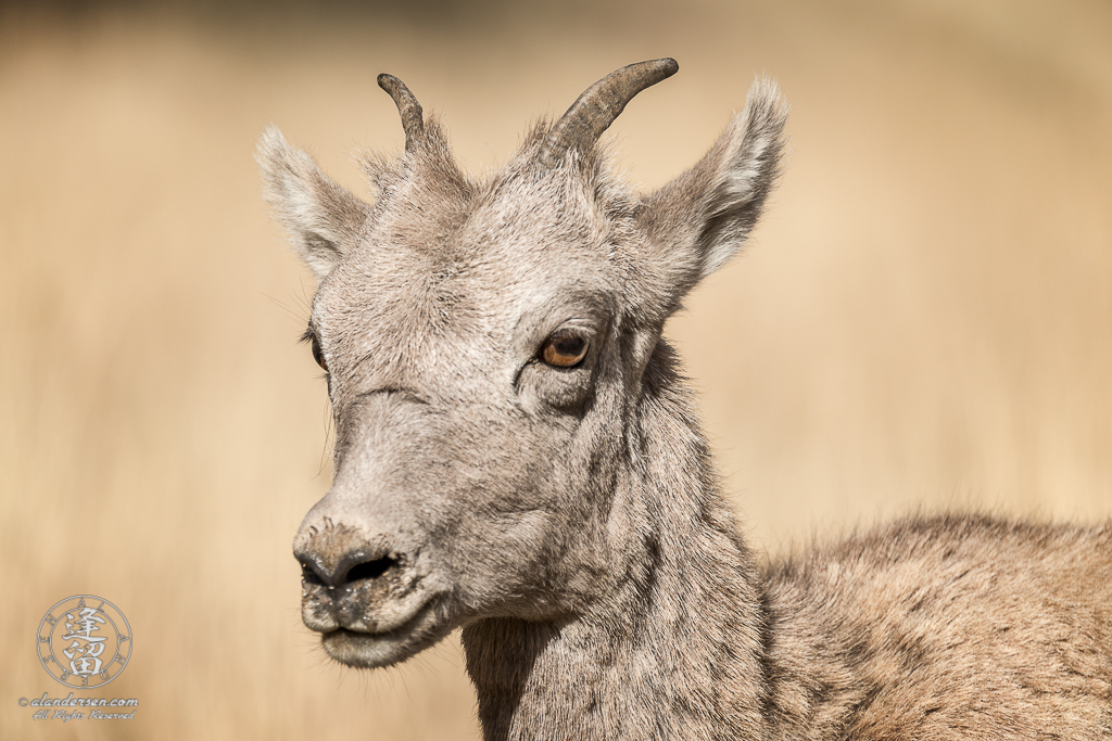 A member of a herd of Bighorn Sheep (Ovis canadensis) that frequented the area between Phantom Lake and Geode Creek in Yellowstone National Park, Wyoming.