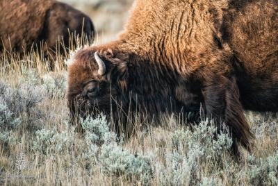 A close-up of large bull Bison (Bison bison) grazing on hillside.