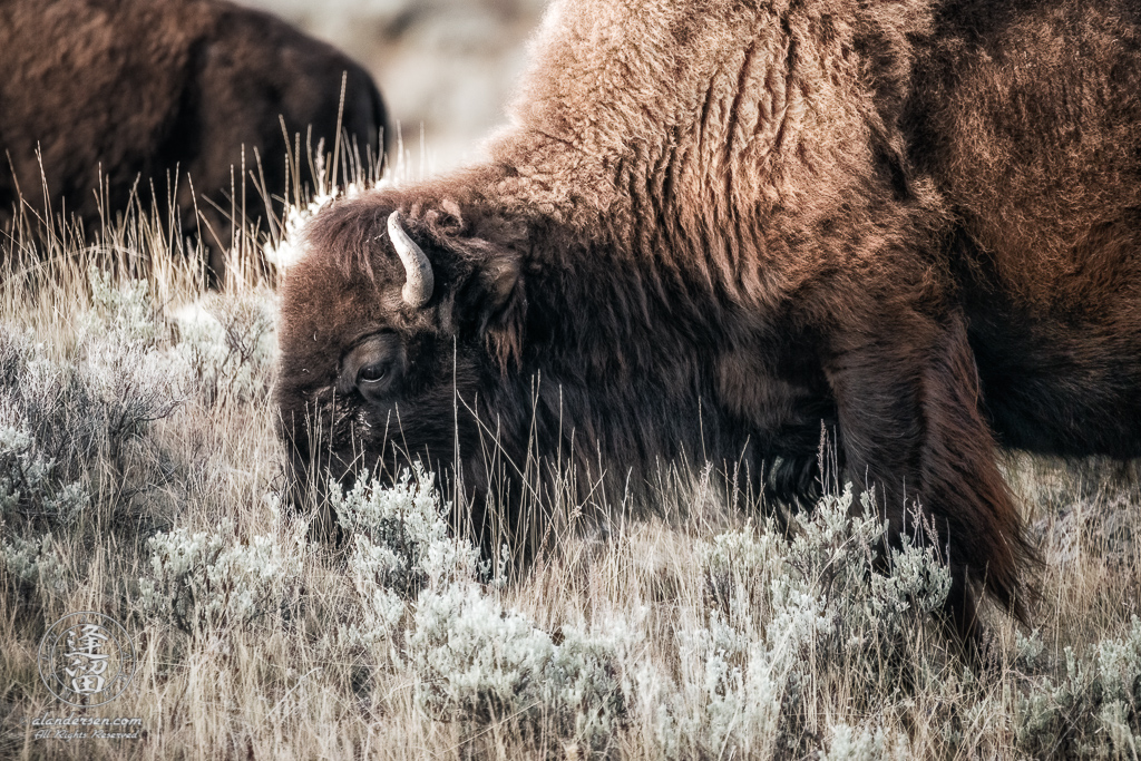 A close-up of large bull Bison (Bison bison) grazing on hillside.