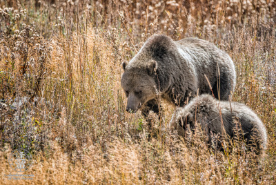 Grizzly Bear (Ursus arctos horribilis) mother teaching young cub how to forage in meadow at Yellowstone National Park.
