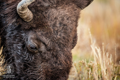 A close-up image of a large bull Bison (Bison bison) grazing in a meadow.