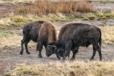 Two young Bison (Bison bison) bulls sparring in a meadow in Yellowstone National Park.