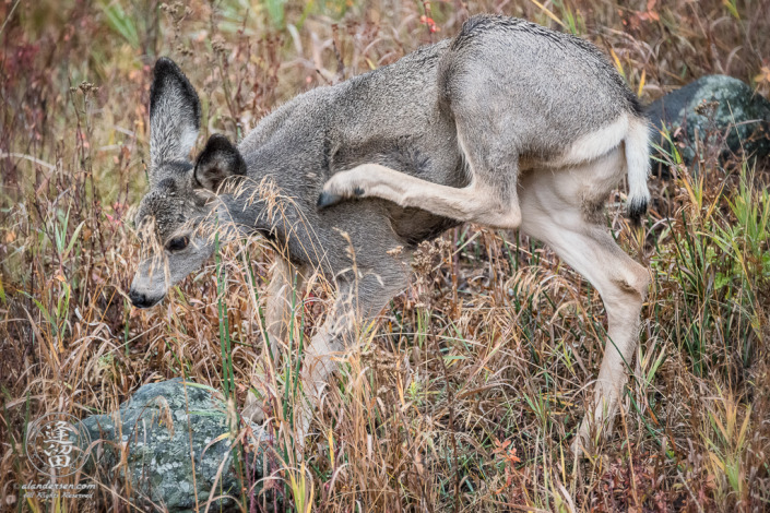 Young Mule Deer (Odocoileus hemionus) Doe vigorously scratching shoulder itch with her back leg.