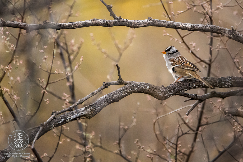 White-crowned Sparrow (Zonotrichia leucophrys) perching prettily on a dead mesquite.