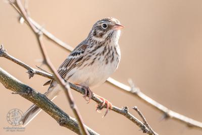 Vesper Sparrow (Pooecetes gramineus) posing on mesquite branch.