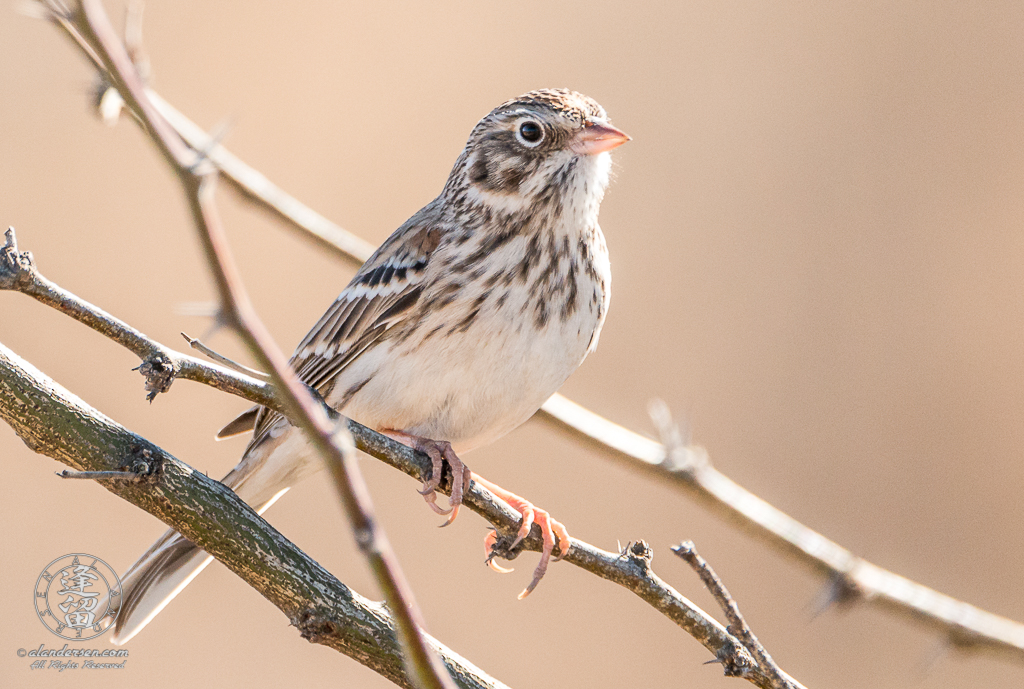 A Vesper Sparrow (Pooecetes gramineus) posing on a mesquite branch in the San Pedro Riparian National Conservation Area outside of Sierra Vista, Arizona.
