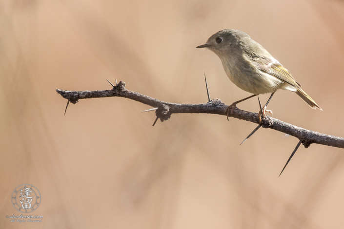 Ruby-crowned Kinglet (Regulus calendula) sitting on mesquite branch.
