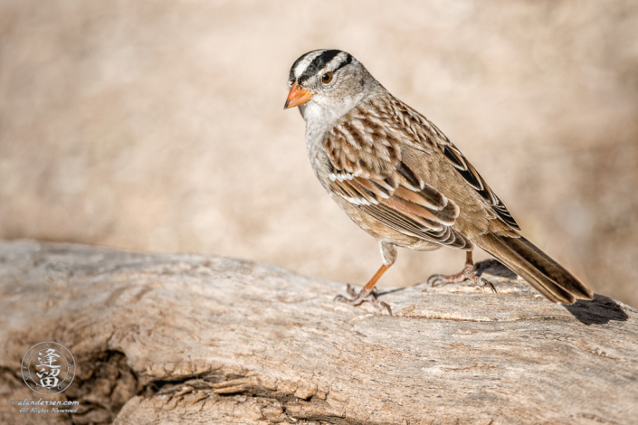 White-crowned Sparrow (Zonotrichia leucophrys) perched on a Cottonwood log.