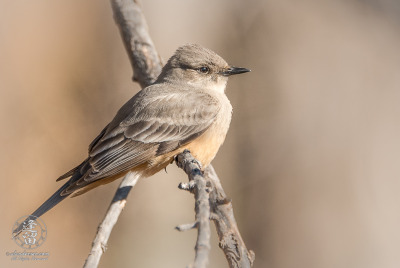 Say's Phoebe (Sayornis saya) resting on cottonwood limb.
