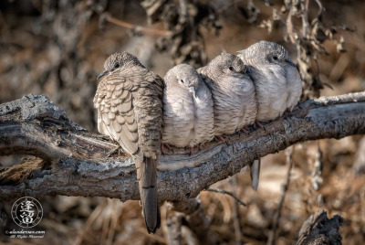 Four Inca Doves (Columbina inca) perched and snuggling on log.