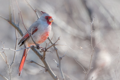 Pyrrhuloxia (Cardinalis sinuatus) perched on limb in mesquite tree.