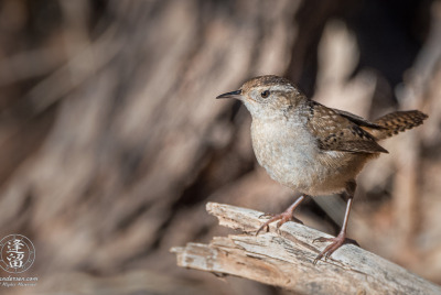 Marsh Wren (Cistothorus palustris) perched on dead Cottonwood limb.
