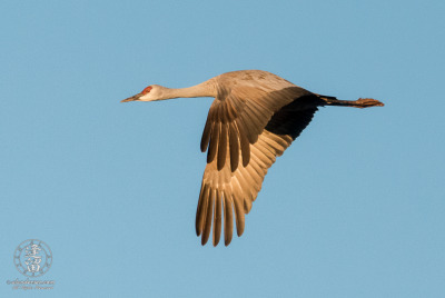 Sandhill Crane (Grus canadensis) flying overhead in early morning flight.
