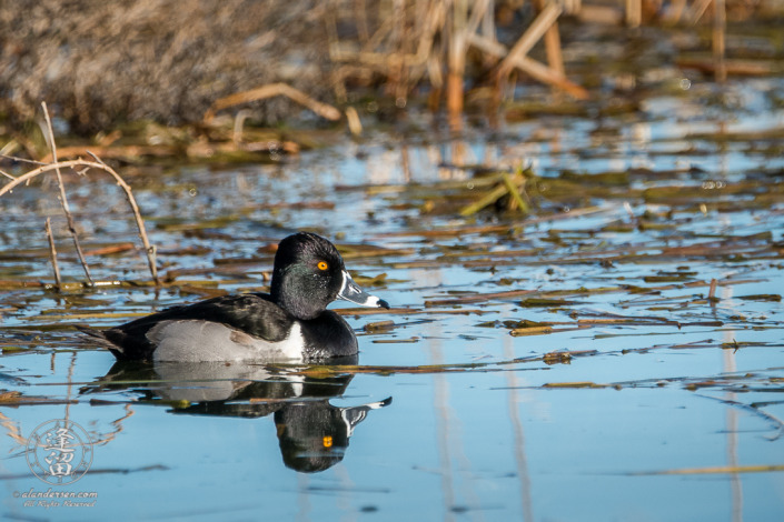 Ring-necked Duck (Aythya collaris) swimming in small pond at Whitewater Draw Wildlife Area, Arizona.