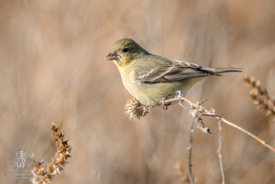 Lesser Goldfinch (Spinus psaltria) sitting on dead flower stalk in field.